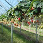 Erdbeeren Selfkant, Heinsberg